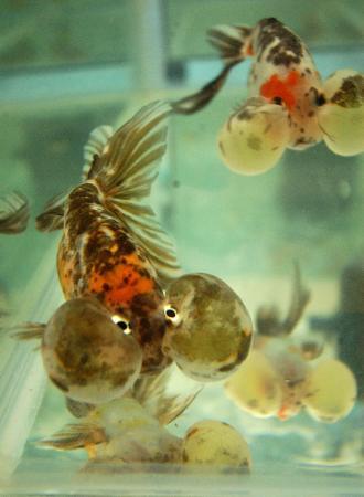 观赏海鱼-11月19日,几条名贵的水泡金鱼亮相观赏鱼展览.   2005年中国金鱼大