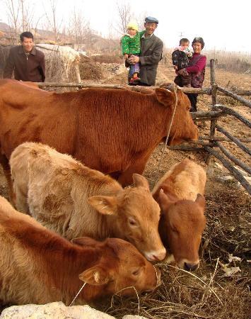 黄牛属单胎动物,产下三胞胎并全部成活的现象实为罕见.