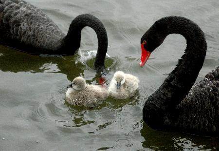 黑天鹅 宝宝 冬季破壳出世 1图片