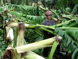 图文:广西村民在查看被台风刮倒的芭蕉