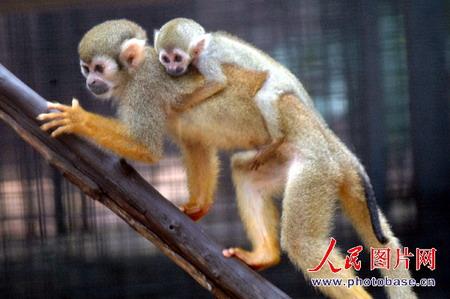 组图:首例小松鼠猴在母猴背上健康成长