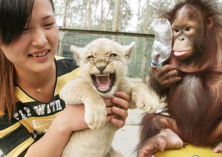 秦皇岛野生动物园的一只母狮于一个多月前产