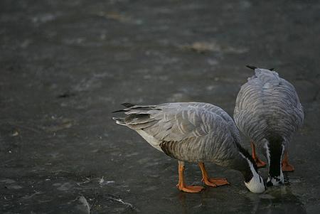 社会新闻 新京报摄影记者专栏专题 正文    北京动物园,两只小鸭把头