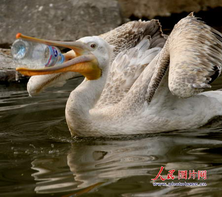 游客扔进一个空矿泉水瓶,惹得国家二级保护动物鹈鹕争抢吞咽.图片