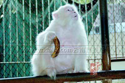 国内首只人工繁殖白化弥猴迟暮绝后(组图)
