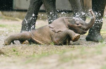 组图:德国动物园新生小象亮相