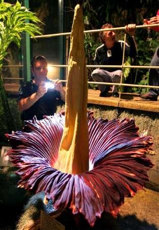 悉尼植物园尸体花绽放强烈臭味吸引游客(图)