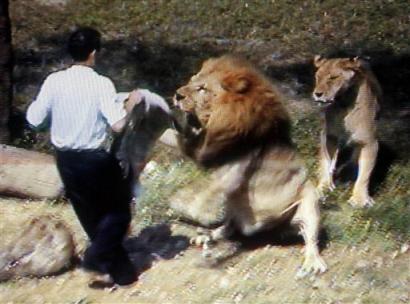 组图:台北一名男子闯入动物园挑衅狮子被咬伤