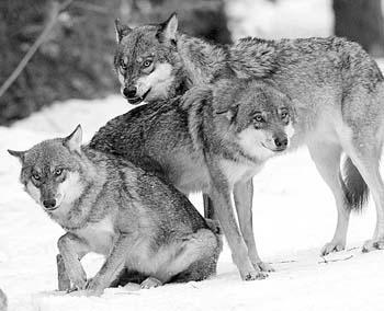 10匹狼被野生动物园放生(图)