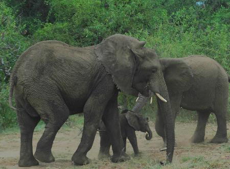 组图:坦桑尼亚保护野生大象