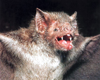 吸血蝙蝠肆虐巴拿马该国数万头牛遭攻击(组图)