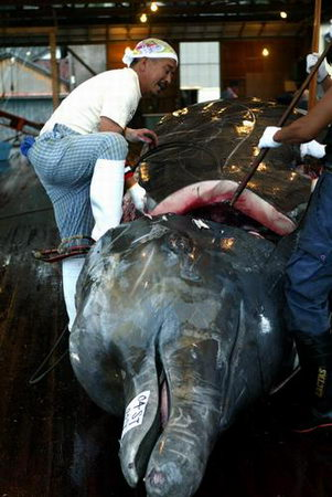 组图:日本血腥屠鲸多种鲸鱼已濒危