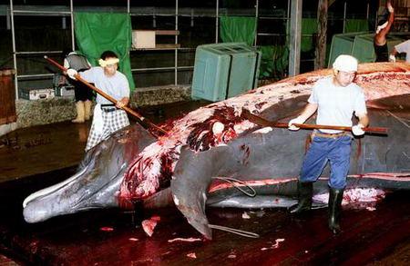 Le Japon veut chasser encore plus de baleines