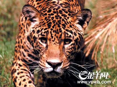 美国动物园美洲虎发狂咬死管理员