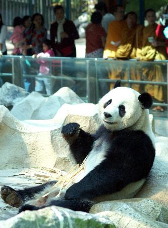 图文:大熊猫创创在泰国清迈动物园内吃竹子