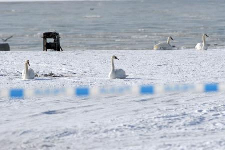 图文:几只天鹅在波兰河畔栖息