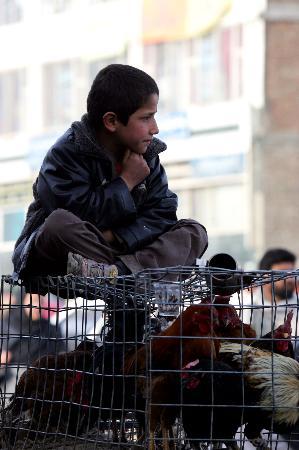 图文:阿富汗一名男孩坐在鸡笼上
