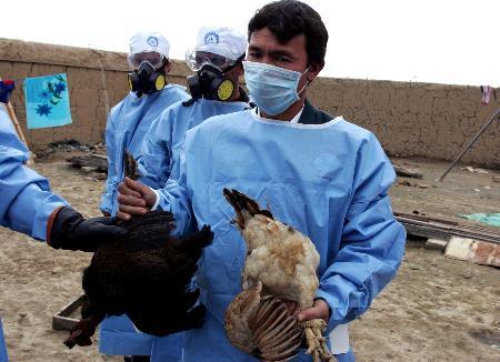 图文:身着防护服的工作人员提着刚捕到的鸡