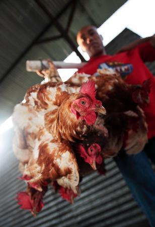图文:印度尼西亚又现禽流感及疑似病例(2)