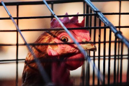 图文:印度尼西亚又现禽流感及疑似病例(4)