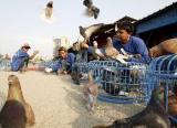 图文:印尼又发现一禽流感疑似病例