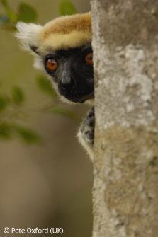图文:濒危野生动物二等奖-马达加斯加狐猴