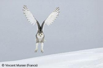 图文:动物行为组(鸟类)一等奖-雪地着陆
