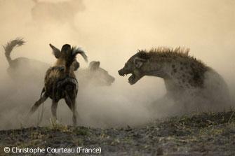 图文:动物行为组(哺乳动物)推荐-土狼