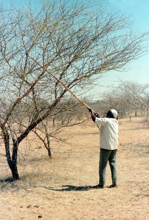 图文:苏丹工人割阿拉伯树胶