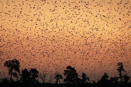 图文:赞比亚卡桑卡国家公园内满天飞舞的果蝠