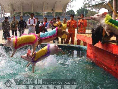 双语新闻:小猪表演跳水欢庆新年到来(组图)
