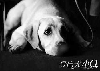 曾让无数视频感动流泪《导盲犬小Q》即将上映v视频观众门图片