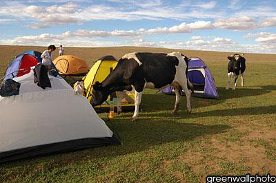 图文:草原狂欢节--奶牛光顾帐篷区