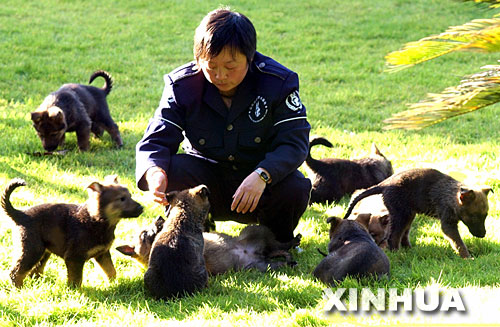 图文:饲养员在对出生45天的幼犬进行初期训练