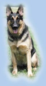 恐怖袭击的克星:以色列特种军犬部队(组图4)