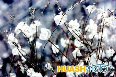 附着在植物上的冰花是大自然的美妙手笔