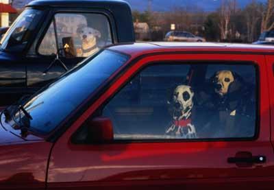 斑点狗开车