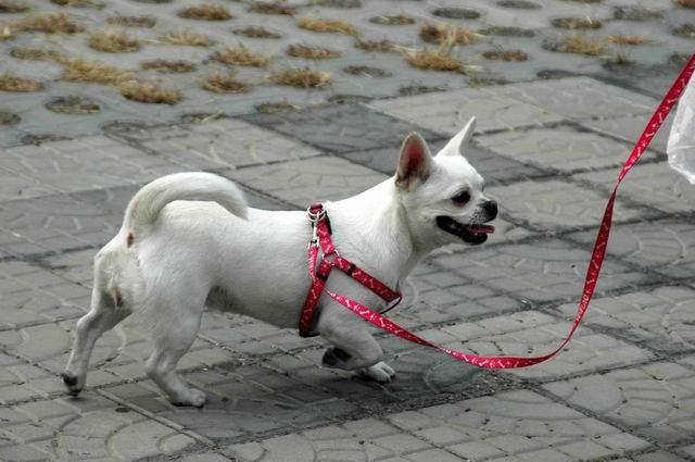 图为现场花絮可爱的小白狗图片