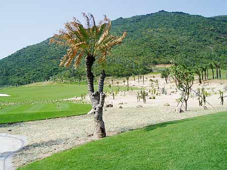 图文-亚龙湾红峡谷高尔夫球场这棵棕榈有个性
