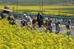图文-环湖自行车赛第2赛段青海黄花映衬大赛