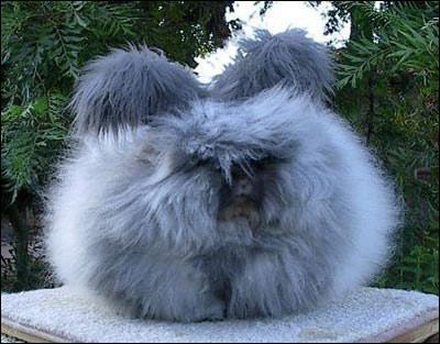 安哥拉兔兔毛价格_巨型兔子安哥拉兔:体型硕大如毛球(组图)_科学探索_科技时代 ...