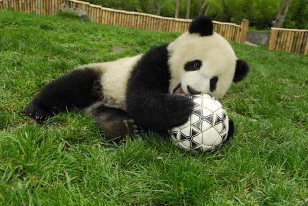 大熊猫小宝宝们在幼儿园的草坪上提前展开了世界杯的